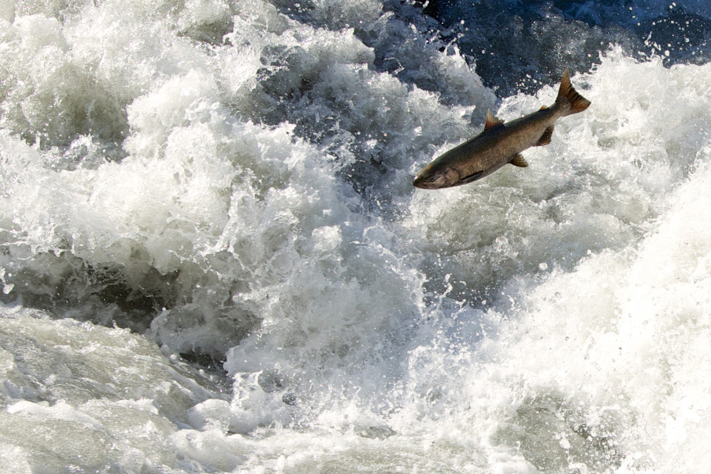 For the first time in a century, an adult chinook salmon launches past a rapid where Elwha Dam was recently removed. Dozens of miles of productive spawning and reading habitat now await upstream. DamNation collection. Photo: Matt Stoecker