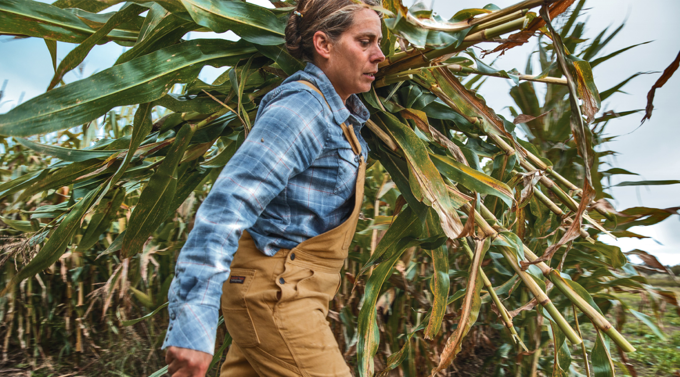 Dr. Heather Darby harvests corn by hand at Borderview Research Farm. Alburgh, Vermont. Photo: Colin McCarthy