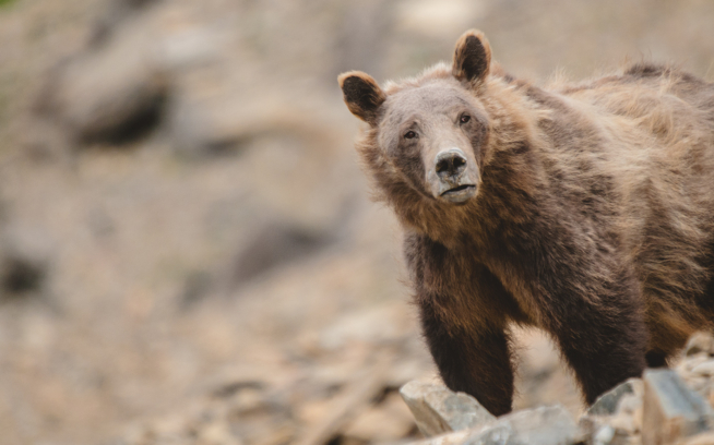 Grizzlies climb the high peaks of western Montana and Wyoming for nutritious army cutworm moths which can provide bears with up to half their yearly calories in 30 days—the moths act much like salmon do for coastal grizzlies. Photo: Steven Gnam