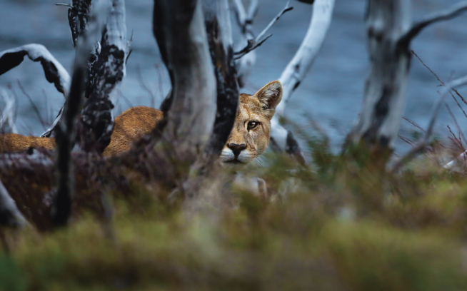 Puma concolor, otherwise known as the mountain lion or puma, is one of Earth's most elusive creatures. Argentina. Photo: Darío Podestá