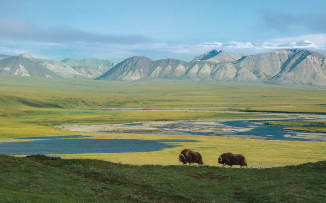 Musk oxen have been around since the Pleistocene era; along with caribou, they are the only hoofed animals that survived the end of that era (10,000 years ago). Today, they roam the open tundra of the Arctic Refuge in search of vegetation growing under or above the snow. Photo: Florian Schulz
