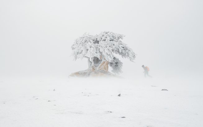 "Honored by Grove, Manley and Oliver as ""the Old Friend,"" this 8- to 10-foot bristlecone stands ragged without the protection of other trees nearby, most of its roots above  ground. Photo: Garrett Grove"
