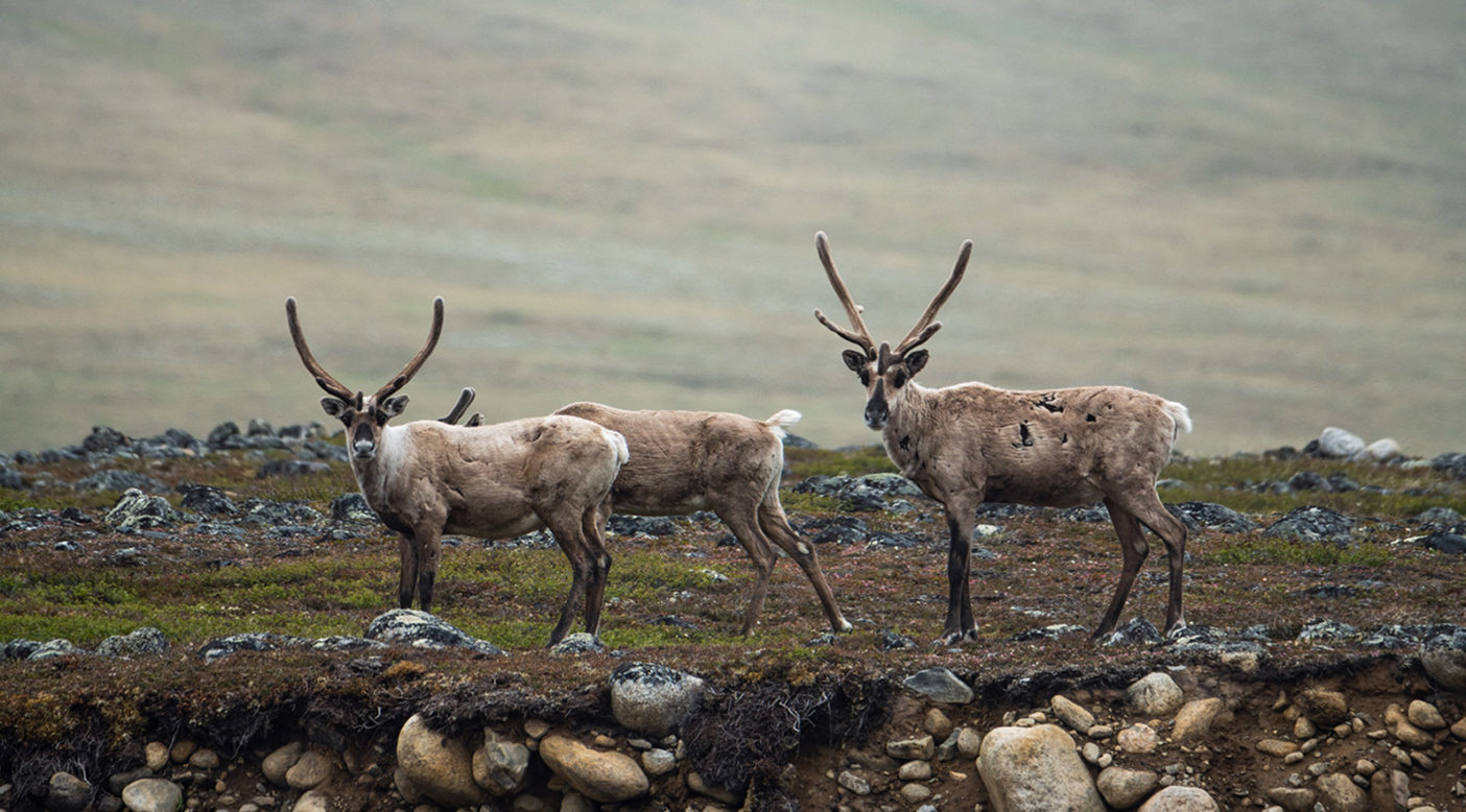 "Caribou from the Porcupine Caribou Herd cross the braided streams of the Jago River in the Arctic National Wildlife Refuge, Alaska. The Gwich'in call the coastal plain of the Refuge ""The Sacred Place Where Life Begins"" because it is the birthing and nursing ground of the Porcupine caribou herd. Photo: Austin Siadak"
